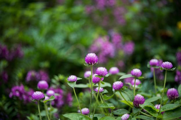 里山ガーデン【大花壇のセンニチコウ】5