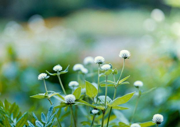 里山ガーデン【大花壇のセンニチコウ】6銀塩