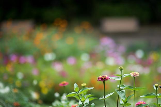 里山ガーデン【大花壇のジニア】1
