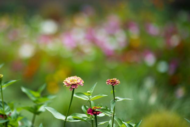里山ガーデン【大花壇のジニア】2