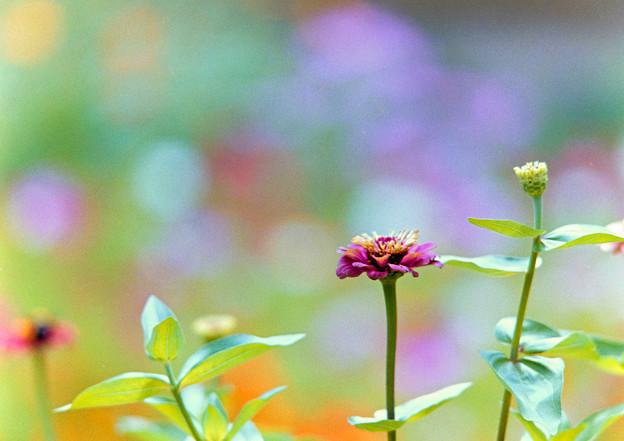 里山ガーデン【大花壇のジニア】3銀塩