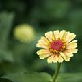 里山ガーデン【大花壇のジニア】4