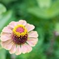 里山ガーデン【大花壇のジニア】5