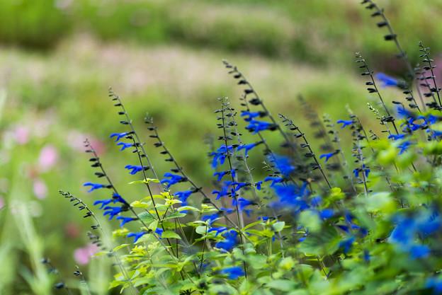 里山ガーデン【大花壇のブルーサルビア】1