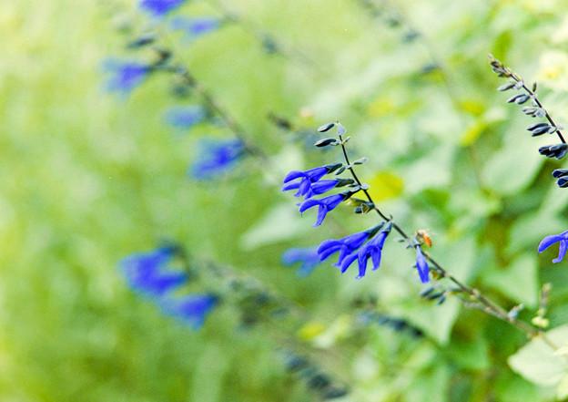 里山ガーデン【大花壇のブルーサルビア】2銀塩