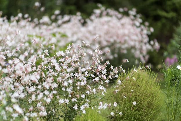 里山ガーデン【大花壇のガウラ】1