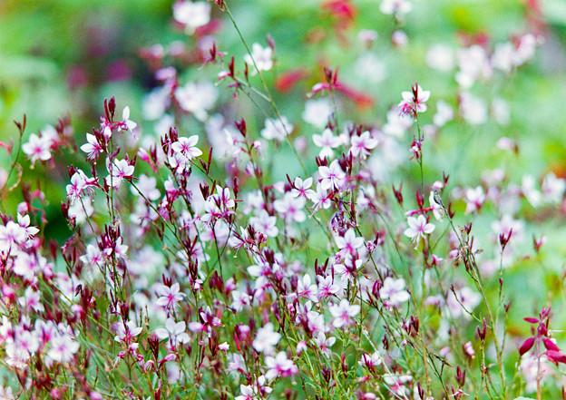 里山ガーデン【大花壇のガウラ】2銀塩