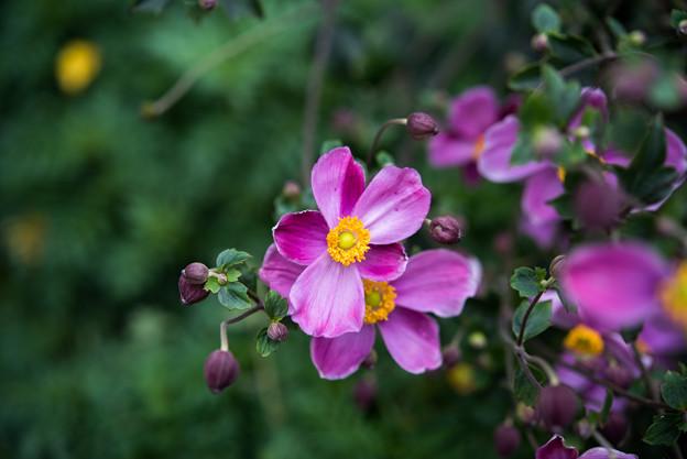 里山ガーデン【大花壇のシュウメイギク】1