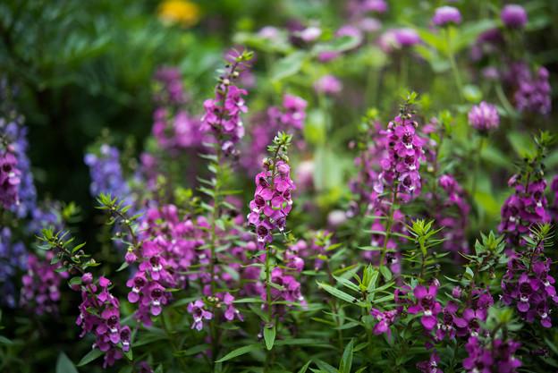 里山ガーデン【大花壇のアンゲロニア】