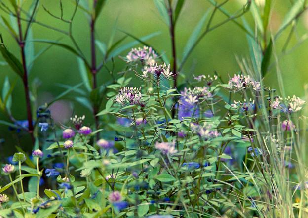 里山ガーデン【大花壇のクレオメ】1銀塩