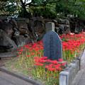 Photos: 西方寺【入口左側のヒガンバナ】