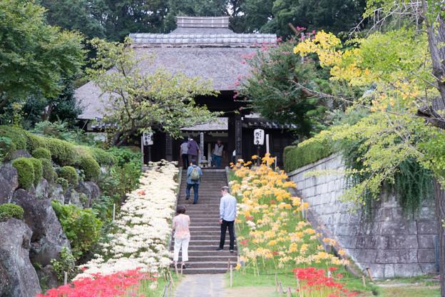 西方寺【参道沿いのヒガンバナ】2