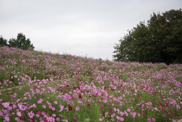 昭和記念公園【花の丘の眺め】5
