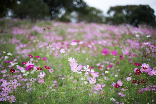 昭和記念公園【花の丘の花畑】1