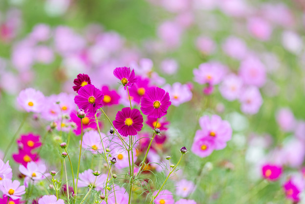 昭和記念公園【花の丘の花畑】2