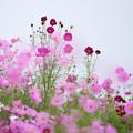 昭和記念公園【花の丘の花畑】3