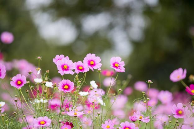 昭和記念公園【花の丘の花畑】4