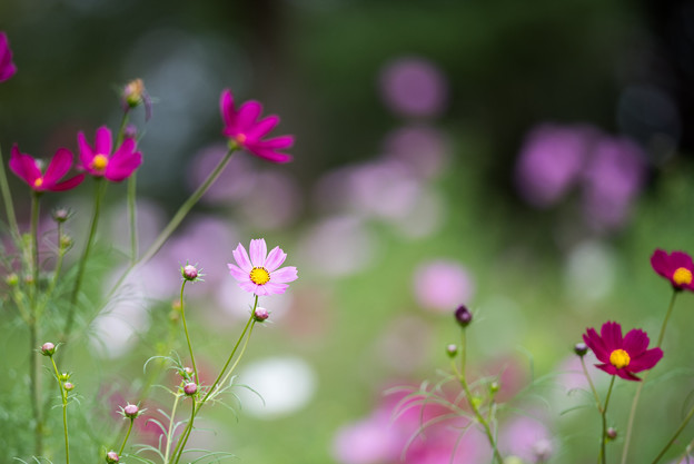 昭和記念公園【花の丘の花畑】5