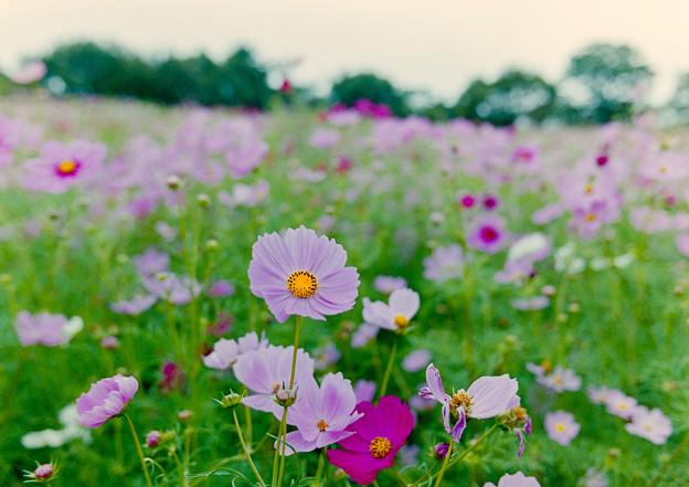 昭和記念公園【花の丘の花畑】1銀塩