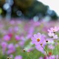 昭和記念公園【花の丘の花畑】2銀塩
