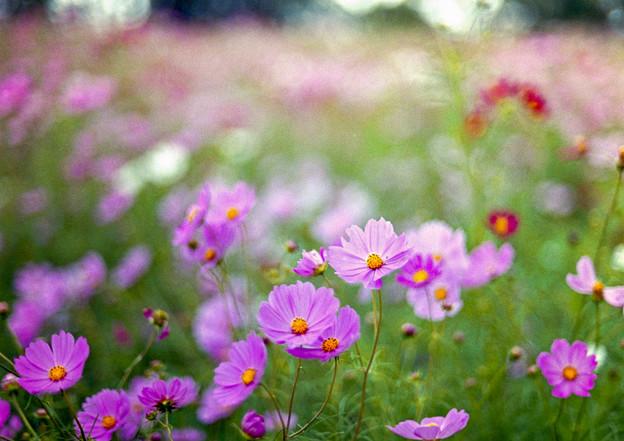 昭和記念公園【花の丘の花畑】3銀塩