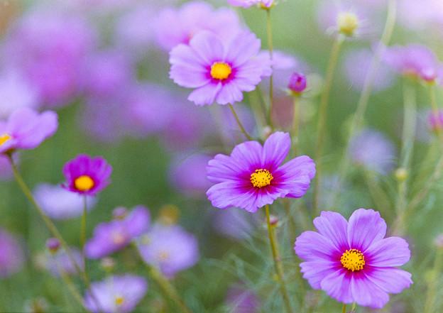 昭和記念公園【花の丘の花畑】4銀塩