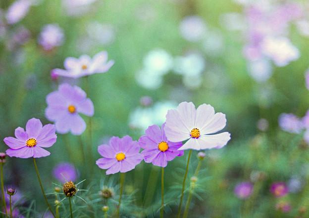 昭和記念公園【花の丘の花畑】5銀塩