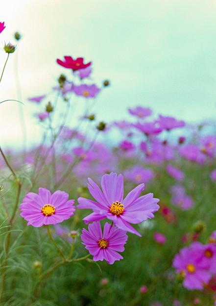昭和記念公園【花の丘の花畑】6銀塩