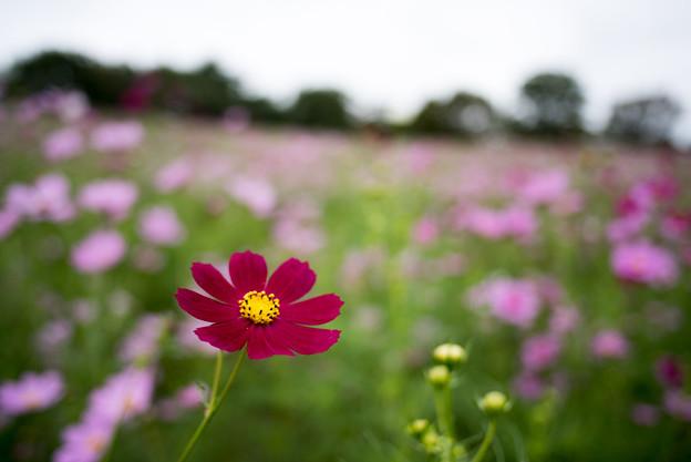昭和記念公園【花の丘:コスモス】3