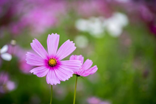 昭和記念公園【花の丘:コスモス】4