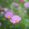 昭和記念公園【花の丘:コスモス】5