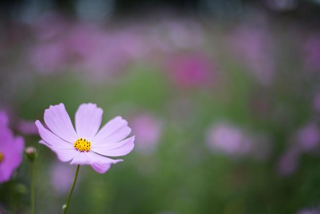昭和記念公園【花の丘:コスモス】6