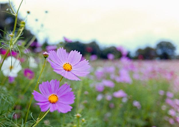 昭和記念公園【花の丘:コスモス】1銀塩