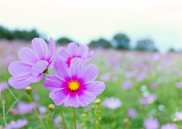 昭和記念公園【花の丘:コスモス】2銀塩
