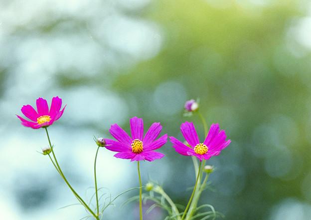 昭和記念公園【花の丘:コスモス】3銀塩
