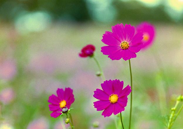 昭和記念公園【花の丘:コスモス】4銀塩
