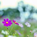 昭和記念公園【花の丘:コスモス】5銀塩