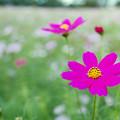 昭和記念公園【花の丘:コスモス】6銀塩