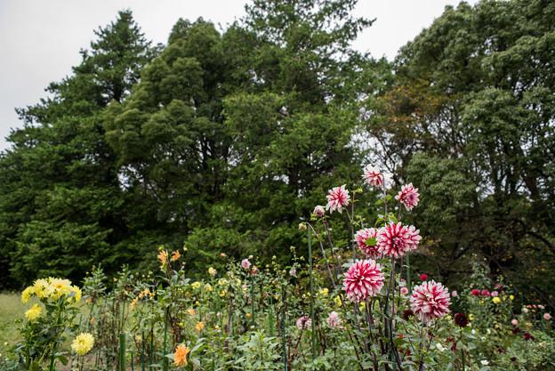 昭和記念公園【ダリアの庭:ダリア】2