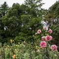 Photos: 昭和記念公園【ダリアの庭:ダリア】2