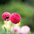 昭和記念公園【ダリアの庭:ダリア】6
