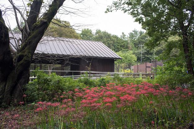 昭和記念公園【こもれびの家付近:ヒガンバナ】2