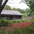 Photos: 昭和記念公園【こもれびの家付近:ヒガンバナ】2