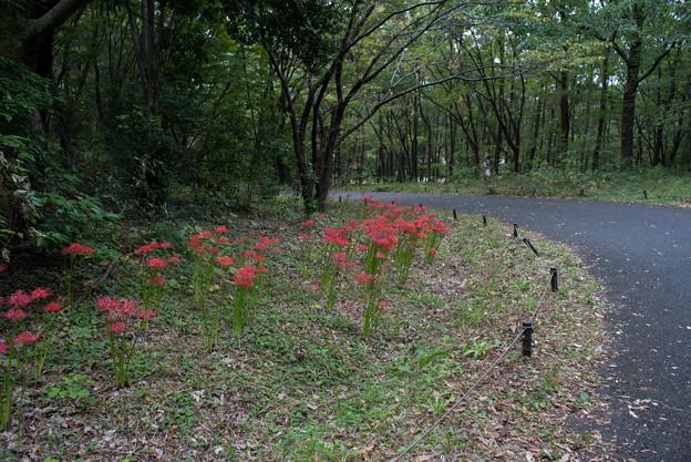 昭和記念公園【こもれびの家付近:ヒガンバナ】3
