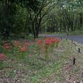 Photos: 昭和記念公園【こもれびの家付近:ヒガンバナ】3