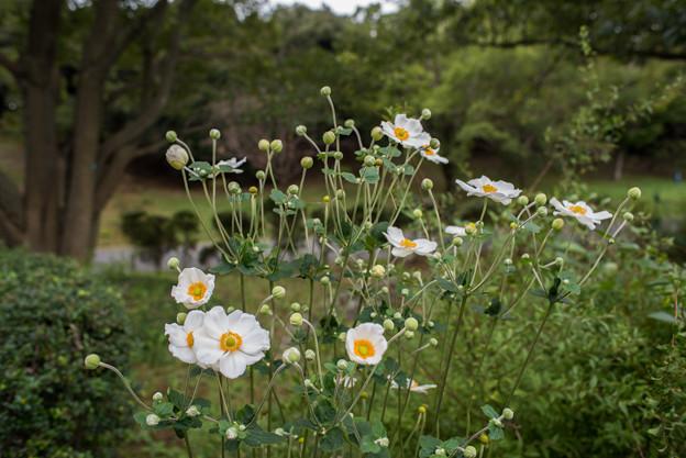 昭和記念公園【こもれびの里:シュウメイギク】1