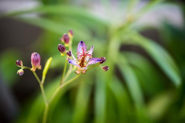 庭のホトトギス【AF-S Micro Nikkor 60mm f2.8:f=3.5】