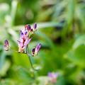 庭のホトトギス【Micro-Nikkor 55mm f3.5:f=4.0】1_2
