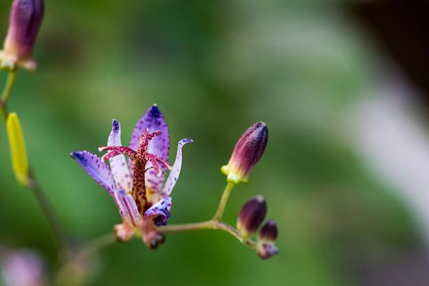 庭のホトトギス【Micro-Nikkor 55mm f2.8:f=4.0】2_1