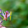 Photos: 庭のホトトギス【Micro-Nikkor 55mm f2.8:f=4.0】3_1